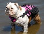 Bulldog at Camp Dogwood beach