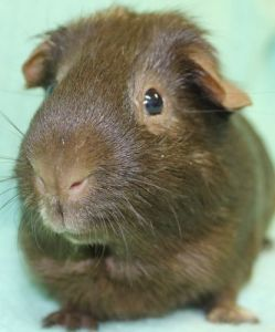 2013 Guinea Pig 26251408-1-large